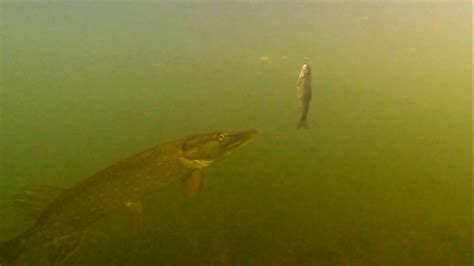 Fishing: pike attacks trout dead bait underwater