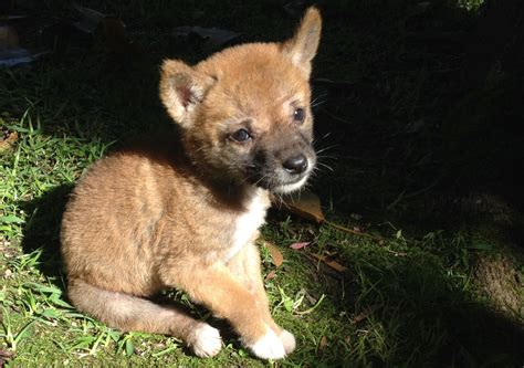 Sandy the pure desert dingo takes on the world   UNSW Newsroom
