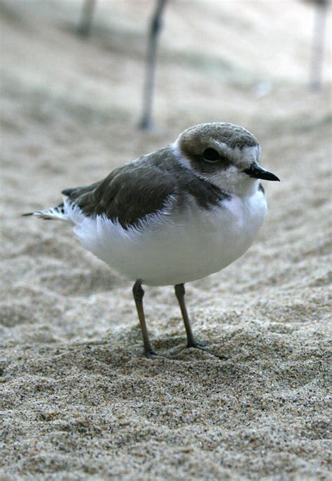 plover - Wiktionary