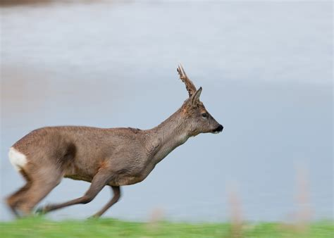 Why Deer Avoid Running East or West When Threatened   The