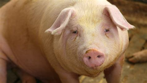 Real deadline for new hog slaughter inspection rule might